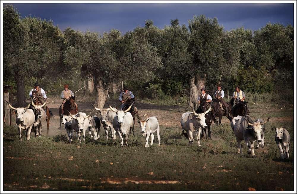Les butteri traversent à cheval les étendues marécageuses guidantguidant leurs troupeaux de vaches aux longues cornes recourbées tout au long des pâturages du littoral. Davide Giovanni Volpi.