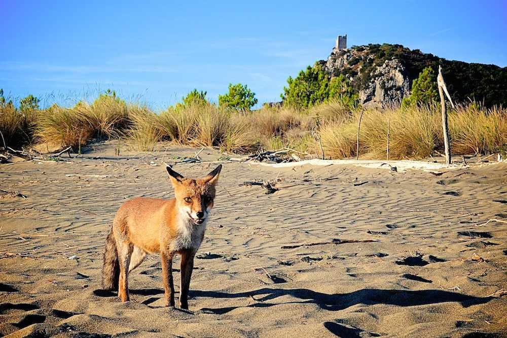 Dans le Parque Natural de la Maremme vous pouvez voir des animaux sauvages qui ont choisi ce milieu protégé. Cala di Forno. Rikko.